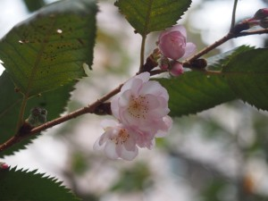 御池桜 11月5日