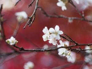 赤山禅院 寒桜