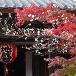 赤山禅院 地蔵堂の紅葉と寒桜