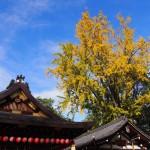 護王神社のイチョウ