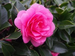 神泉苑の山茶花