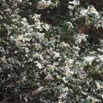 八大神社の山茶花