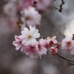 実光院 不断桜
