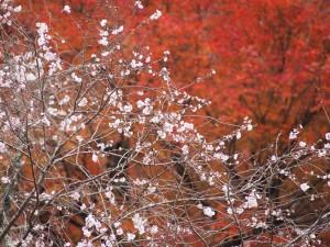 実光院 不断桜と紅葉