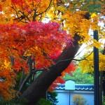 妙心寺 退蔵院 11月30日