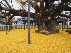 西本願寺のイチョウ