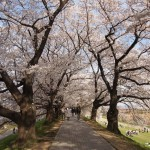 背割提 桜のトンネル
