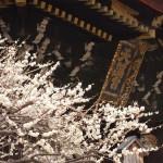 北野天満宮の梅 3月8日