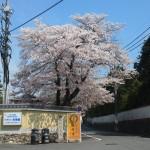 東福寺 立派なソメイヨシノ