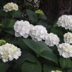 京都市街地の紫陽花