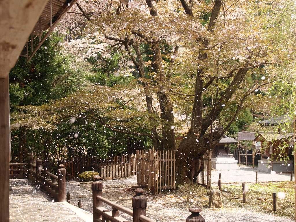 常照皇寺 散り行く桜   京都旅屋...
