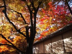 二尊院 白壁と紅葉 11月25日