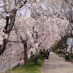 鴨川 五条~七条 美しい桜の道