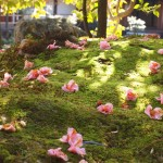 木漏れ日の散り椿