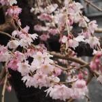 御池桜 1月