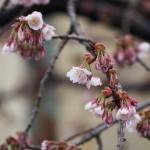 JR桃山駅前の桜