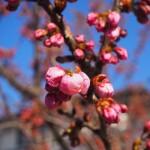 勧修寺 早咲き桜