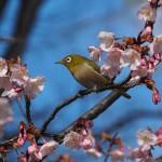 豊国神社 蜂須賀桜 3月