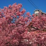長徳寺 オカメ桜 3月
