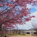 鴨川 イボ桜