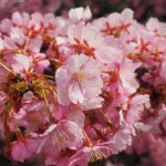 淀水路の河津桜