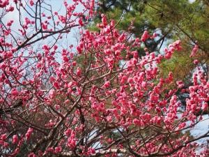 京都御苑 梅