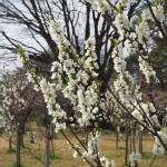京都御苑 桃の花