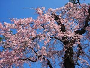 早咲きのしだれ桜