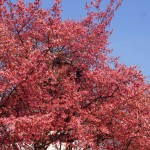 長徳寺 オカメ桜