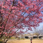 鴨川 いぼ桜