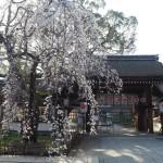 平野神社 魁桜 3月