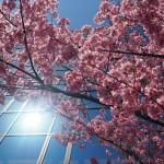 御池通 陽光桜 3月