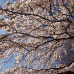 京都御苑 近衛邸跡 3月21日