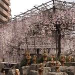 六角堂 御幸桜 3月25日