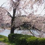 鴨川 七条~五条の桜
