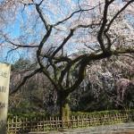 京都御苑 近衛邸跡 3月27日