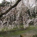 京都御苑 近衛邸跡 3月29日