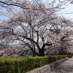 賀茂川 3月30日