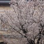 京都府庁 容保桜 3月30日
