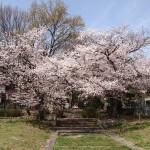 樫原廃寺跡 4月1日