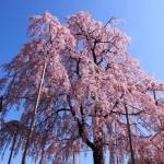 東寺 不二桜