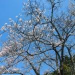 地蔵禅院 ソメイヨシノ