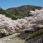 亀岡 七谷川沿い やわらぎの道 4月