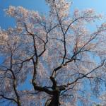 勝持寺 西行桜 4月
