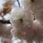 千本ゑんま堂 普賢象桜