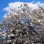 仁和寺 泣き桜(揚道桜)