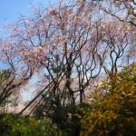 原谷苑 4月9日撮影