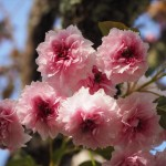 二尊院普賢象桜
