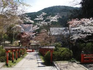 鞍馬山 雲珠桜