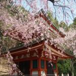 鞍馬寺 多宝塔の桜